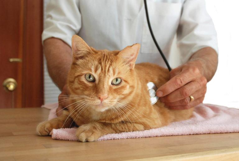 אבחון מחלות עור בחתולים